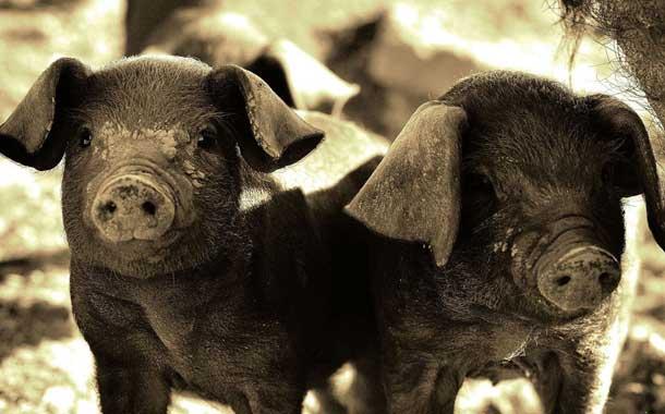 Lanzan un cerdo a la casa de un empresario en Uruguay