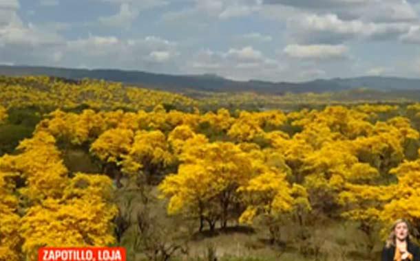 El florecimiento de los guayacanes atrae a miles de turistas