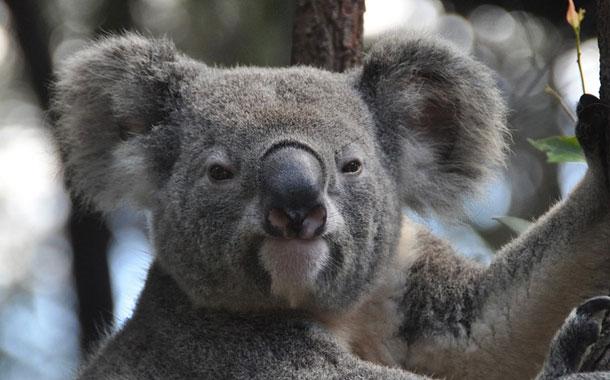 Captan a un koala lamiendo el asfalto en una carretera de Australia
