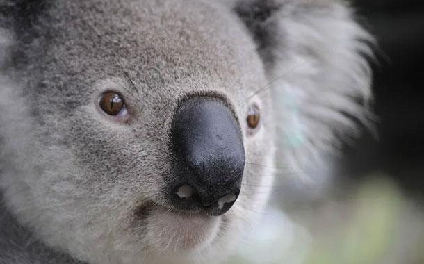 Estrella de la televisión británica propone vender la piel de los koalas muertos
