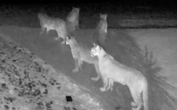 Raro video de un grupo de pumas fue captado en EE.UU.