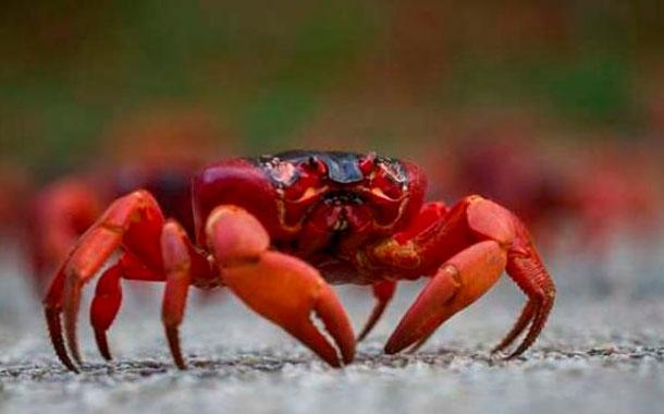 Desde este sábado 15 de febrero rige la veda de cangrejo rojo