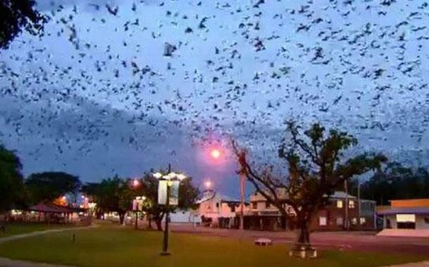 Murciélagos invaden un pueblo de Australia