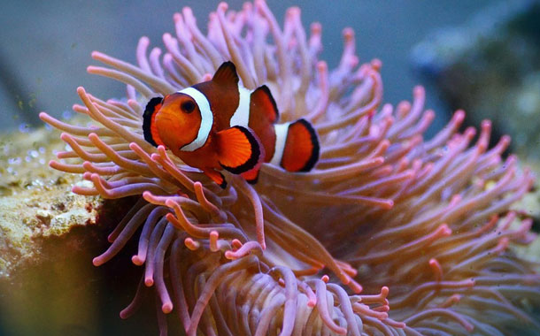 La desaparición de los corales amenaza la supervivencia del pez payaso