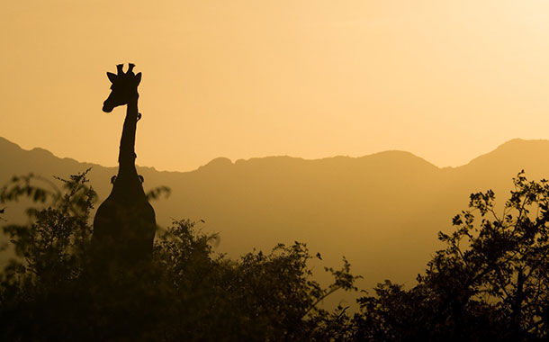 Cazadores furtivos matan a la única jirafa blanca de Kenia y a su cría