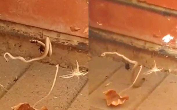 Araña se enfrenta en una pelea a muerte con una serpiente (VIDEO)