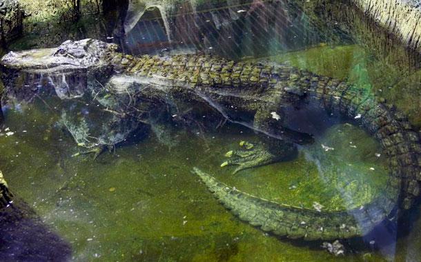 Muere el caimán que se rumora perteneció a Hitler
