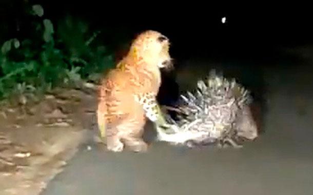 Leopardo se lleva una dolorosa lección de un roedor