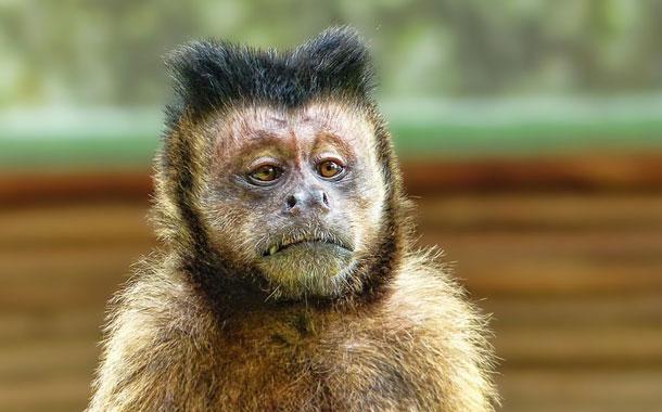 'Kalua', el mono 'alcohólico' que fue encerrado tras matar a una persona