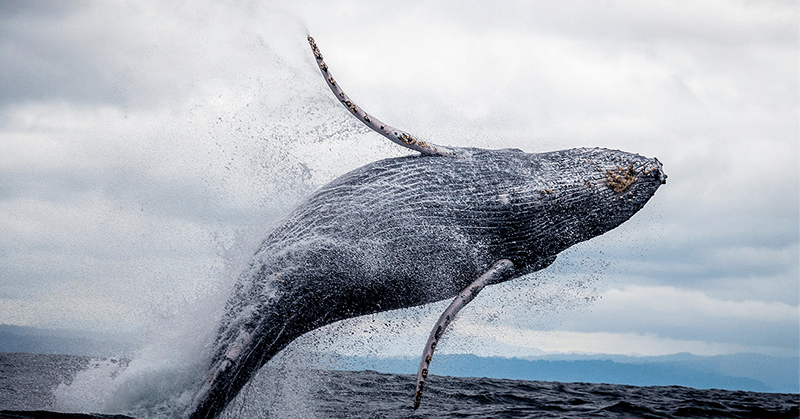 Emotiva liberación de una ballena atrapada en red de pesca ilegal
