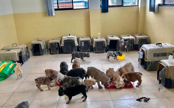 Rescatan a 19 cachorros Bulldog en la frontera norte
