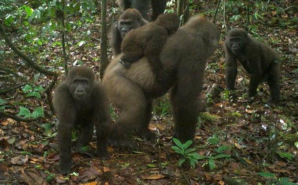 Conservacionistas fotografían a gorilas con crías