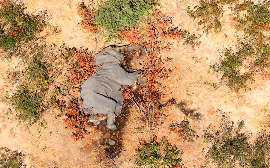 Muertes misteriosas de 350 elefantes