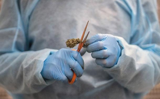 Uruguay proyecta exportar 50 toneladas de planta de cannabis