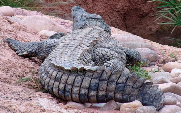 Decapitan a un enorme cocodrilo en localidad de Indonesia