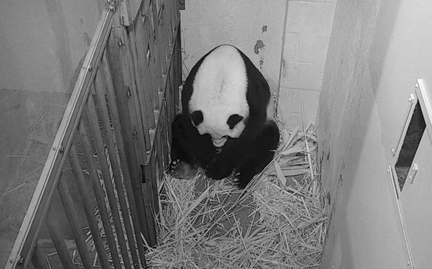 Zoo de EEUU transmitió en vivo nacimiento de cachorro panda