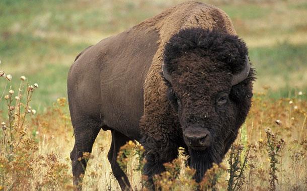 Un bisonte macho ataca a otro en medio de una carretera