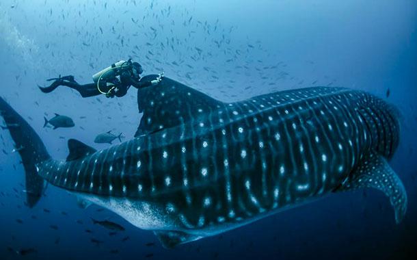 Marcan a diez tiburones ballena en Galápagos para seguirles el rastro