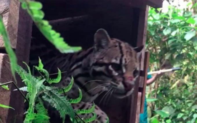 Un tigrillo fue liberado en la reserva Mashpi
