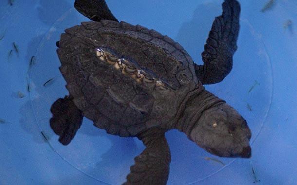 Tortuga marina lucha por su vida luego de ser llevada a Quito