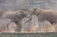 Dos elefantes se pelean a muerte frente a un grupo de turistas
