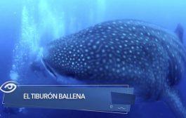 El tiburón ballena