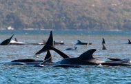 Más de 200 ballenas varadas fueron halladas en un lugar remoto de Australia