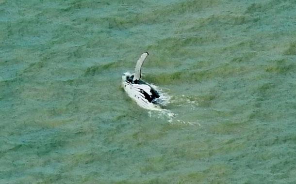 Una ballena logra salir de un río australiano con cocodrilos