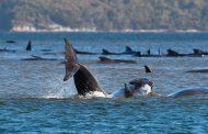 Descubren 275 ballenas varadas en una zona remota del sur de Australia