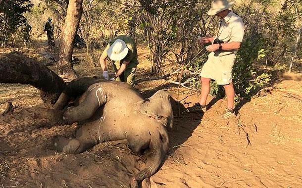 Expertos: Bacteria causó muerte de elefantes en Zimbabue