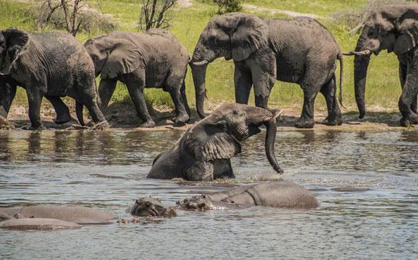 Estudio: los elefantes machos también andan en manada