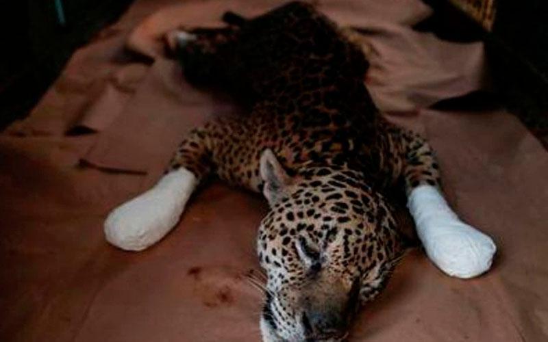 Rescatan a un jaguar con graves quemaduras de los incendios en Brasil