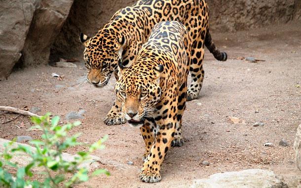 Se incendia parque con gran población de jaguares en Brasil