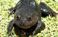 Científicos redescubren a la rana 'fantasma', considerada como desaparecida