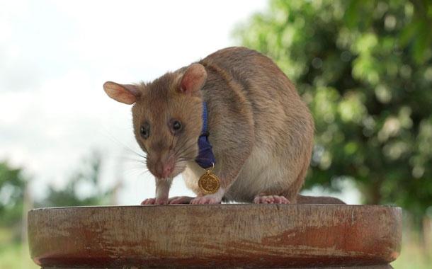 Condecoraron con una medalla de oro a una rata detectora de minas