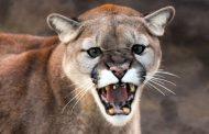Puma persigue a joven que quiso tomar una foto a sus crías