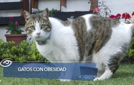 Gatos con obesidad