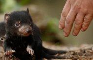 El demonio de Tasmania vuelve a Australia tras 3.000 años de desaparición