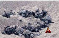 Cientos de tortugas han puesto sus nidos en Same