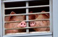 China detecta su primer brote de peste porcina africana desde julio