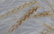 Argentina aprueba la comercialización de trigo transgénico