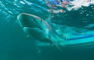 ¿Puede la vacuna contra el Covid-19 poner en peligro a  tiburones?